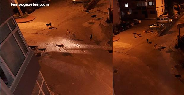 Sokak köpekleri vatandaşların korkusu haline geldi!..
