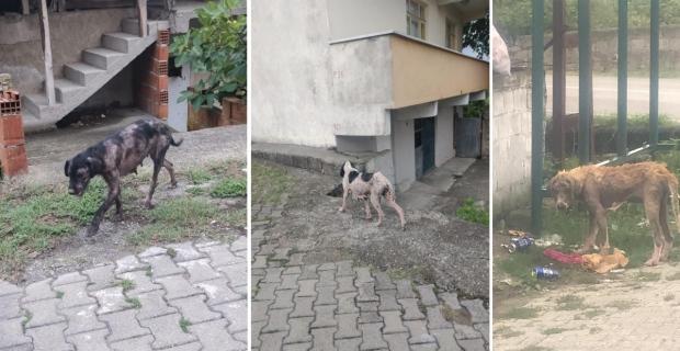 Çaycuma'da uyuz köpek paniği