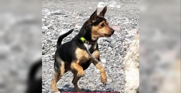 Çalınan köpeği için para ödülü koydu