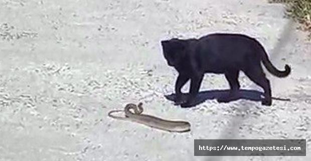 Kedi ile yılanın kavgasında pes eden yılan oldu