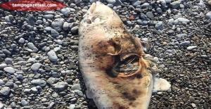Yavru yunus ölüsü Balkaya plajına vurdu.
