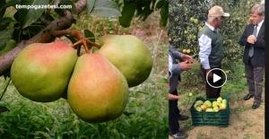 Deveci Armudu hasat yaptılar!..