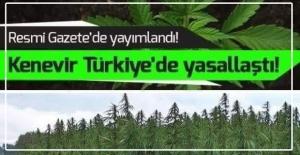 Kenevir üretimine izin çıktı... Listede Zonguldak'ta var...