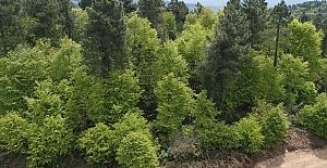 Zararlı Gal Arısı Zonguldak ve Bartın'da görüldü