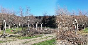'Budama' adı altında ağaç katliamı