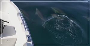 Yunus sürüsü tekneye eşlik etti